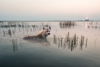 AC Wild images Hyena Bathing wildlife photography