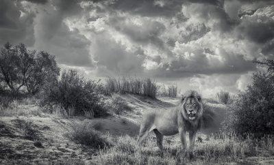 Kalahari King AC wild images Young Lion AC wild images wildlife photography wildlife photographer exclusive wildlife art