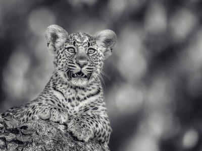 Leopard cub portrait AC wild images