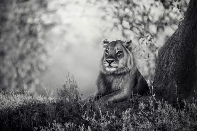 Young Lion AC wild images wildlife photography wildlife photographer exclusive wildlife art
